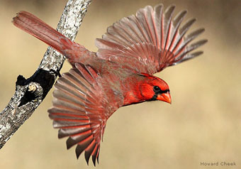 cardinalHowardCheek534x374