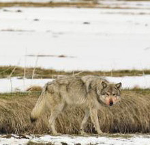 Yellowstone Wolf by Floyd H. Bond