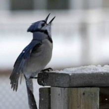 blue-jay-featured-image