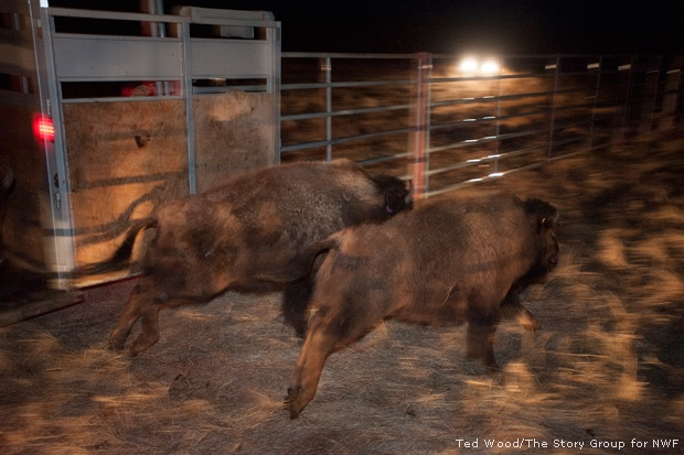 Bison released at Fort Peck, MT
