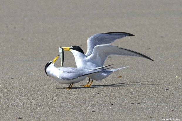 Least terns on Wells Beach, Maine