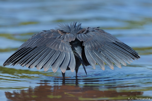 Slaty egret fishing in Chobe River National Park, Botswana
