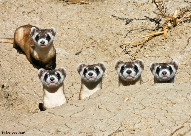 Black-footed ferret mother and kits, USFWS National Conservation Center