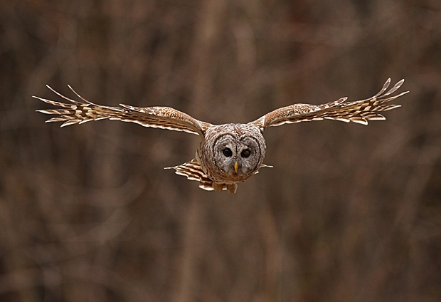Barred Owl by Peggy Hanna
