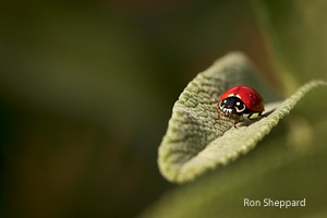 photography tips, photo tips, nature photography, Rob Sheppard, ladybird beetle