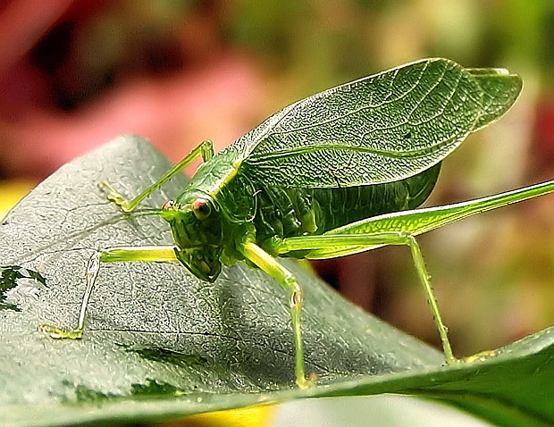 Katydid by Katherine Clifton