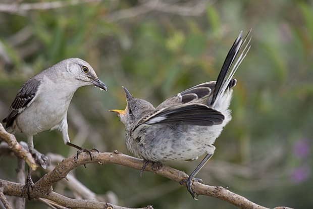 Mockingbirds by Dennis Raffelson