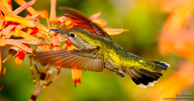 Hovering Hummingbird Drinks from Flower