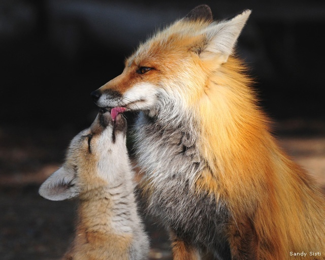 Red fox father and kit; Pahaska, Wyoming