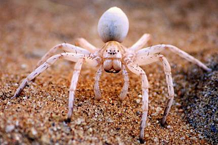 Blog-Spider-Lakshmi-Vadlamani-dancing-lady-spider-333148