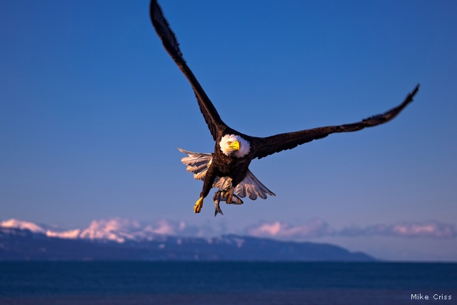 Bald eagle, Homer, Alaska