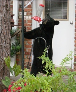 Black bear at feeder by RebaAnderson