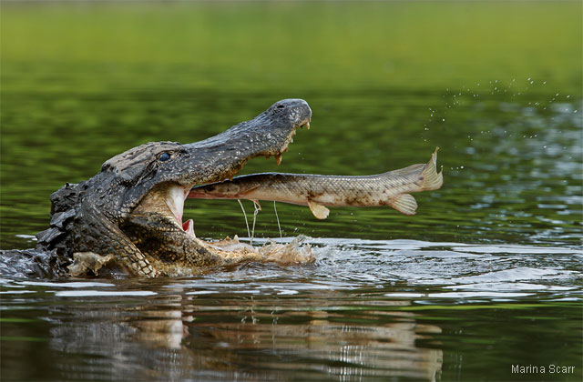 Alligator and Florida gar. Photo by Marina Scarr. 2012 National Wildlife Photo Contest honorable mention.