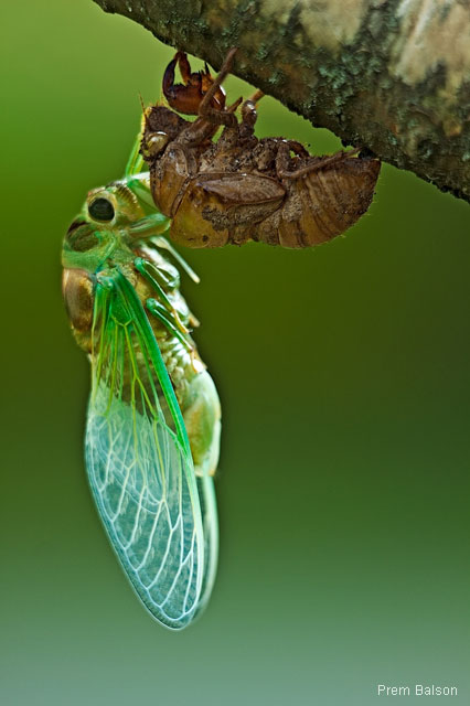 Cicada emerging from husk