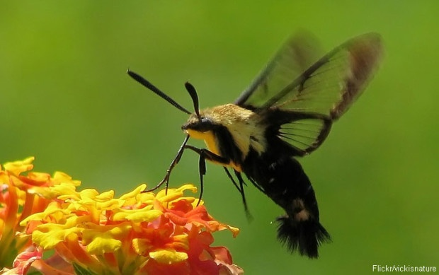 The clearwing moth hovers as it drinks, resembling a hummingbird.