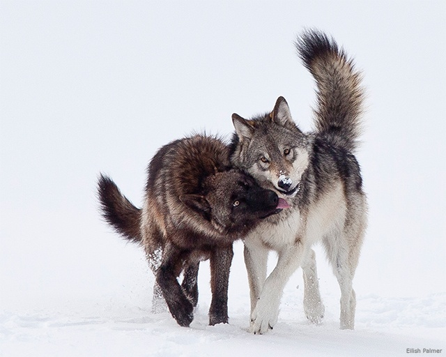Wolves, Yellowstone National Park