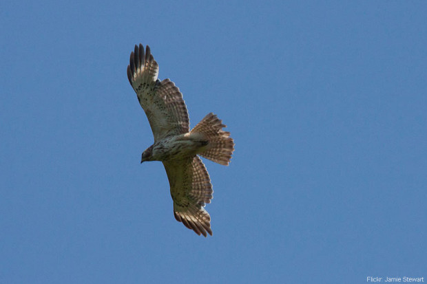 Symmetrical Molting in Hawk Overhead