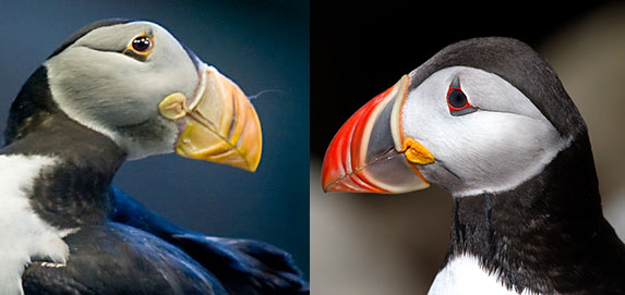 Atlantic Puffin Beaks Different Colors