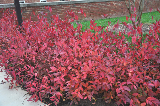 Leaves on the Virginia sweetspire turn red to purple in fall and can last well into the winter on this native shrub. Photo by Sam Bahr, UMD Botanical Garden.