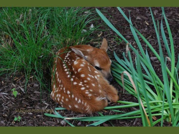 Resting fawn (Photo by Maureen Smith/NWF)