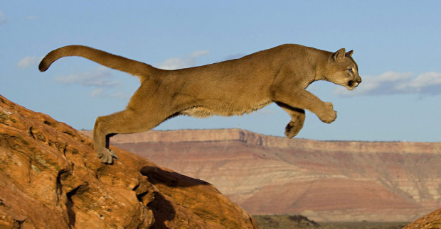This leaping mountain lion is demonstrating their incredible agility.