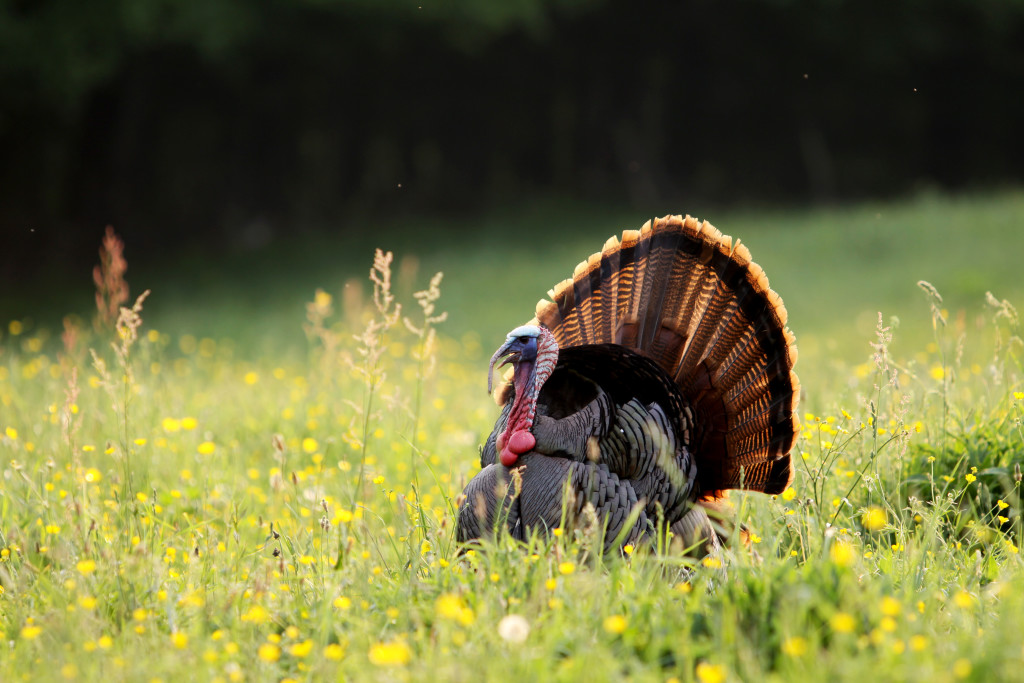 twelve unusual and fascinating facts about wild turkeys