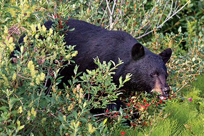 bear eating berries