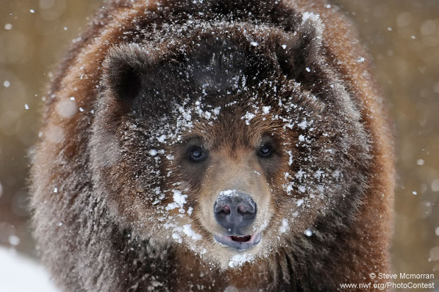 Grizzly in the Snow