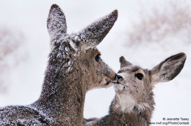Deer Snow Kiss