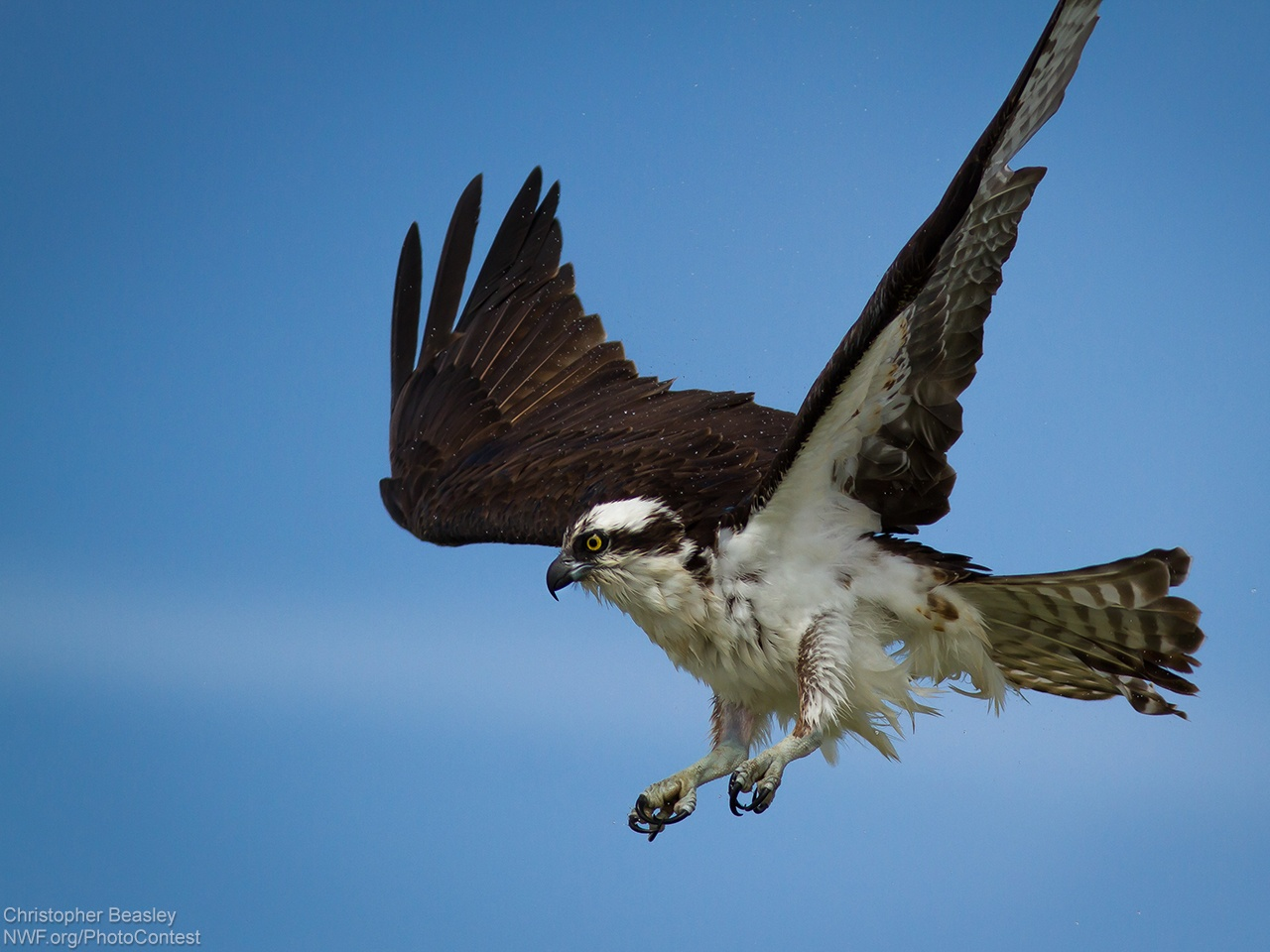 Is the Seahawk a Real Bird? • The National Wildlife ...