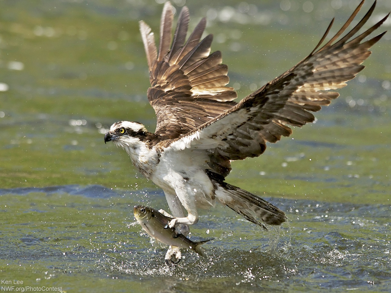 Osprey Bird Fishing
