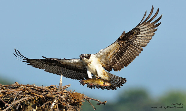 Osprey photo by National Wildlife Photo Contest entrant Kim Taylor in Alexandrai, VA.