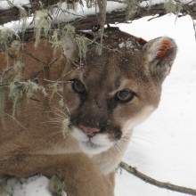 Cougar at Charles Russell Wildlife Refuge in Montana (Flickr/USFWS Mountain-Prairie)