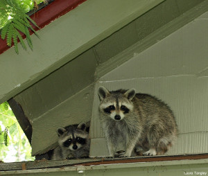 Raccoons by Laura Tangley