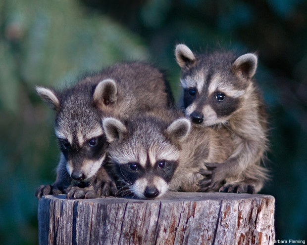 Raccoon kits by Barbara Fleming