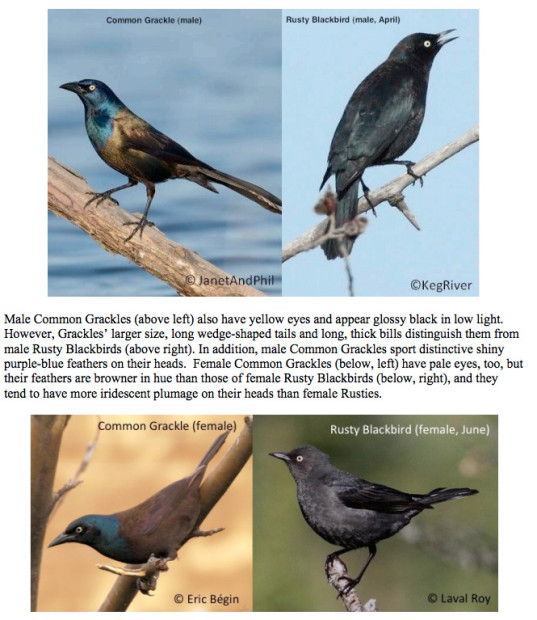 Common Grackle vs. Rusty Blackbird
