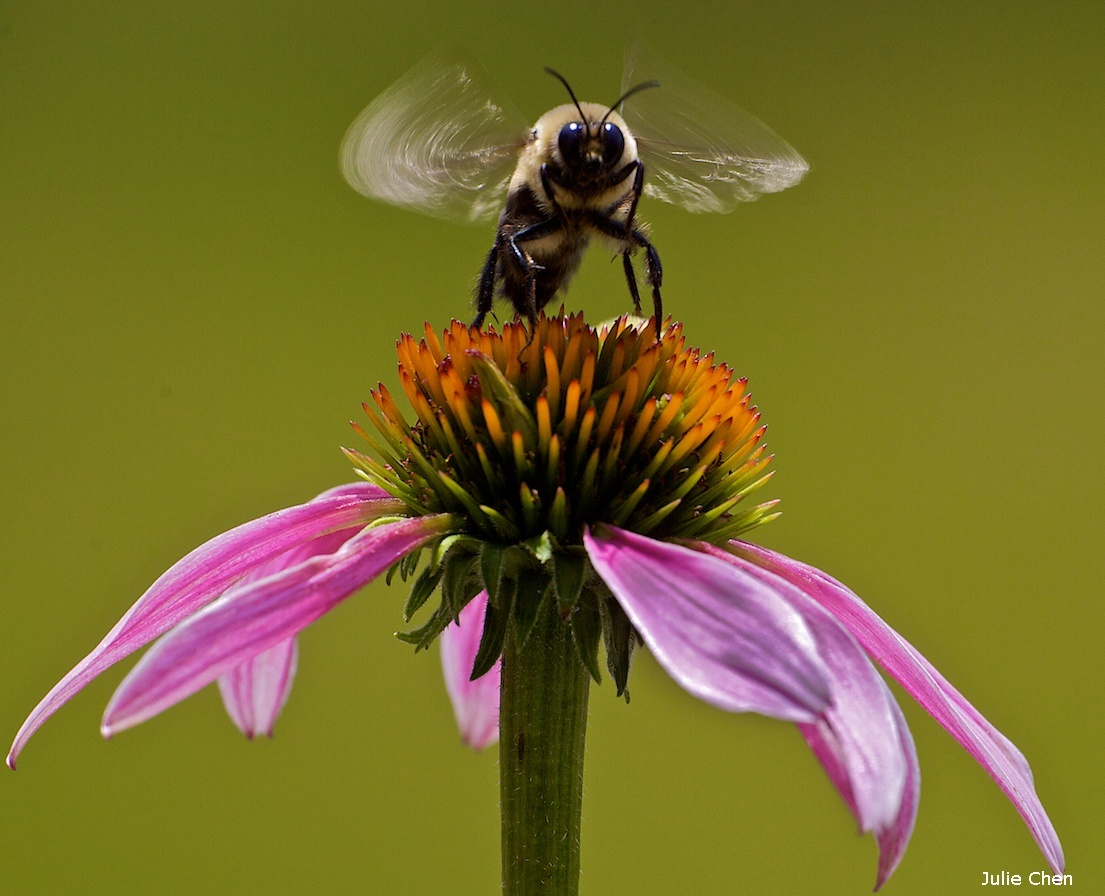 10 ways to save pollinators the national wildlife federation blog