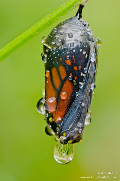 Monarch butterfly inside a chrysalis