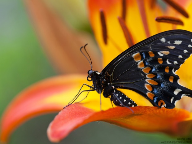 You can see the curled proboscis in this picture of a black swallowtail butterfly, donated by National Wildlife Photo Contest entrant Connie Etter.