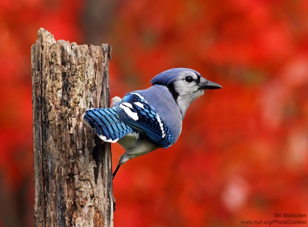 A red maple provided a beautiful and colourful autumn background for this blue jay photographed by Bill McMullen.