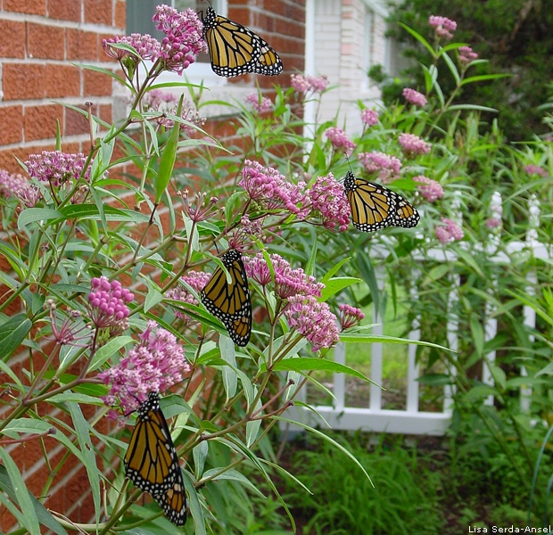 Monarchs and milkweed by Lisa Serda-Ansel
