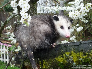 An opossum retreats into a plum tree after being spotted at a backyard bird feeder in Lynnwood, Washington. Opossums will eat almost anything and can find refuge anywhere from underground to the heights of trees. Photo by Norman Curtis.