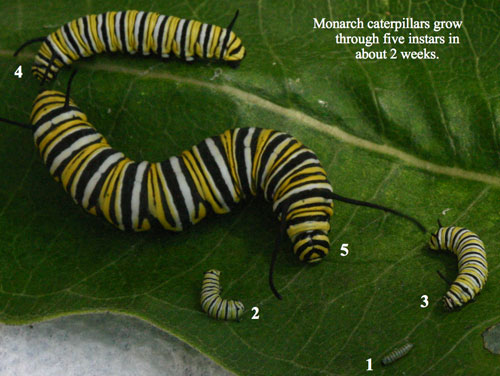 A monarch caterpillar sheds its exoskeleton 5 times. It goes through five instars. An instar is a stage between molts. When the caterpillar emerges from it egg it is a first instar caterpillar. © Ba Rea 2011