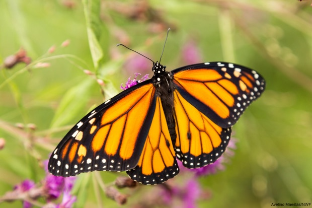 Monarch spreading its wings, preparing to fly. Photo by Avelino Maestas.