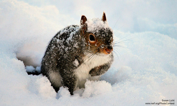 Snow covered squirrel in Massachusetts by Susan Licht.