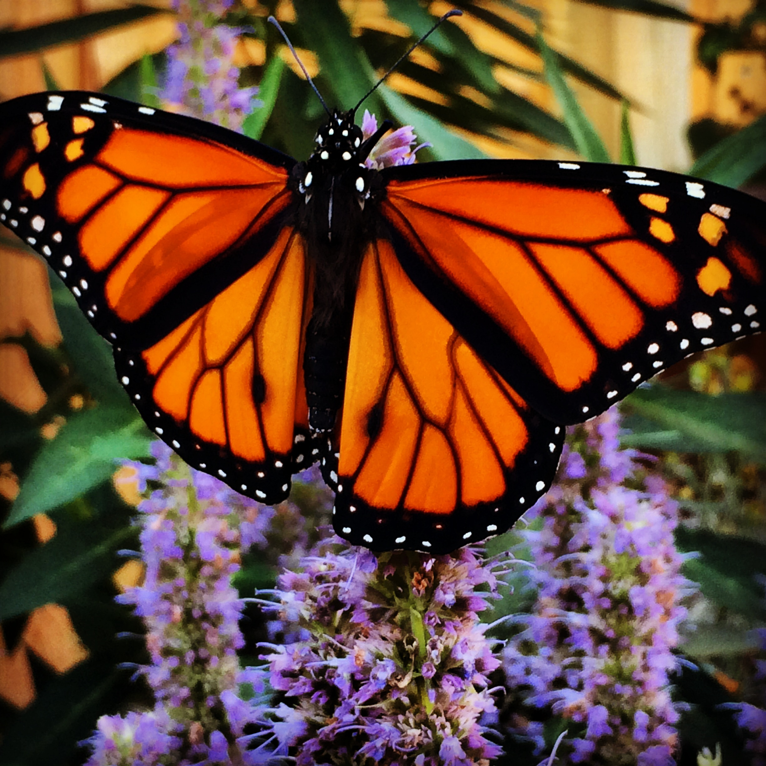 six ways to save monarchs the national wildlife federation blog