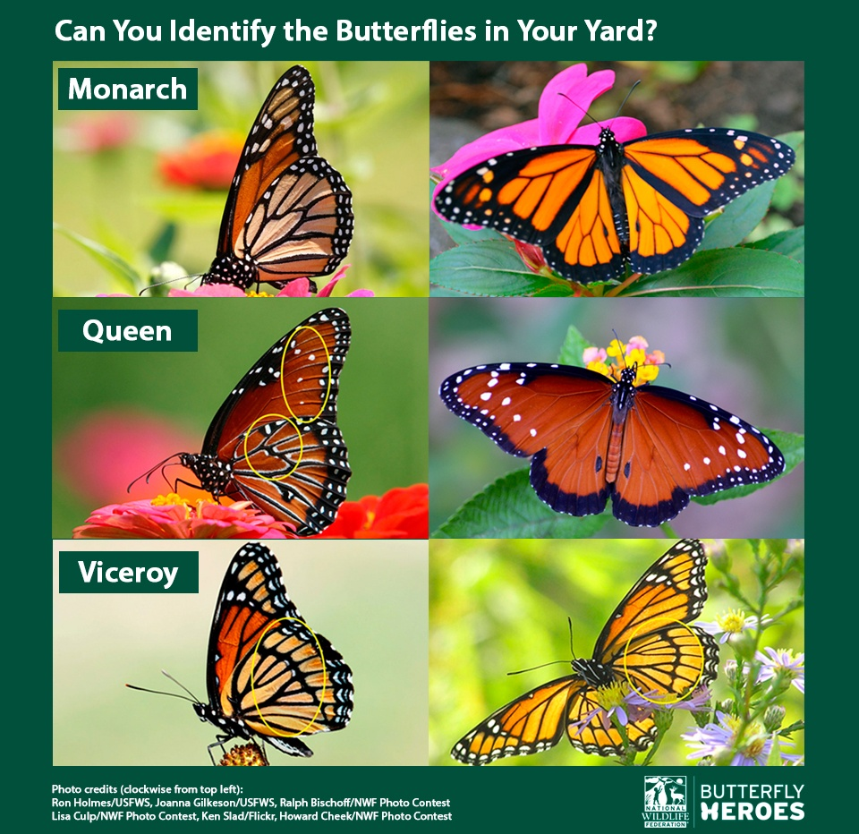 Butterfly Identification Chart Queen Butterfly Vs Monarch
