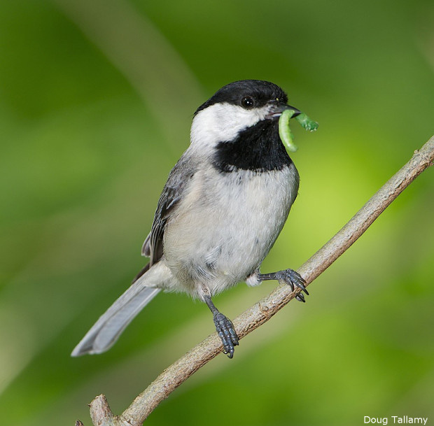 Carolina Chickadee by Doug Tallamy