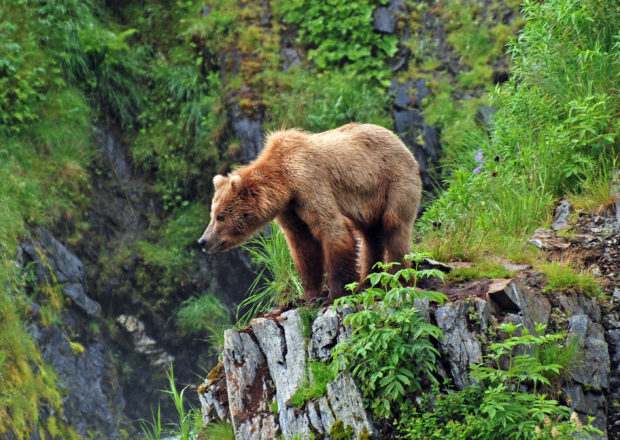 This picture is taken on Kodiak Island of a Grizzly Bear watching the habitat near Fraser Lake. Photo by National Wildlife Photo Contest entrant Steve Prorak.