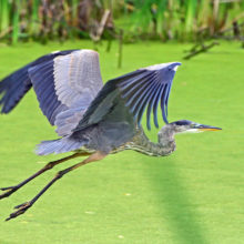 Blue Heron Flying Over Wetlands_morguefile_v2